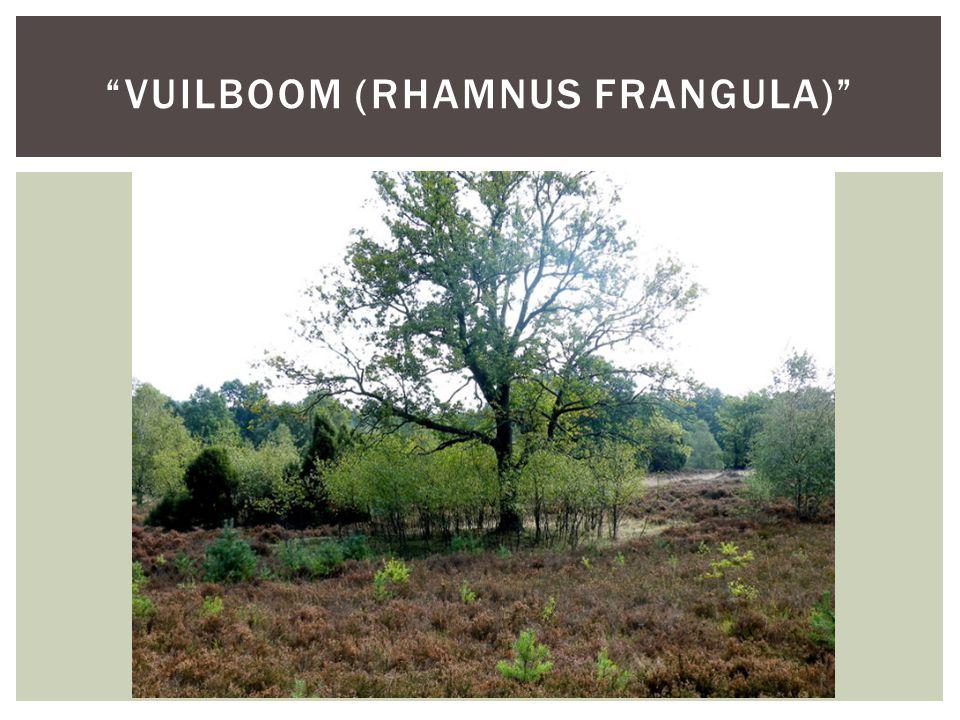 vuilboom (Rhamnus frangula)