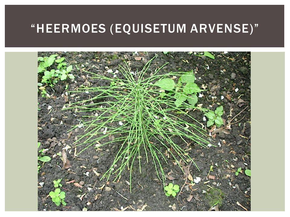 heermoes (Equisetum arvense)