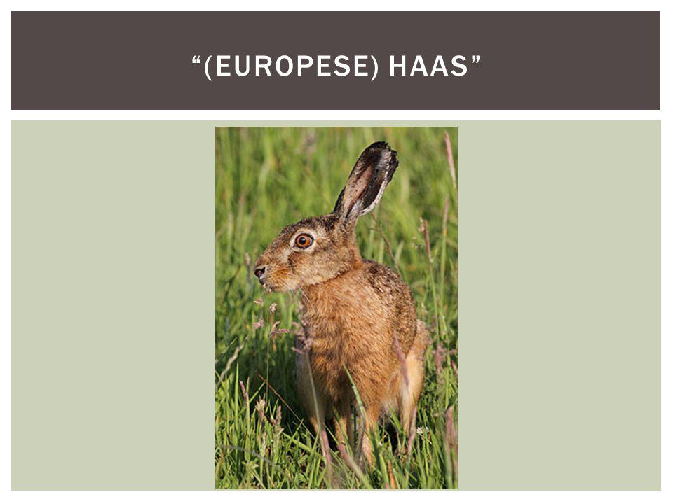 (europese) Haas