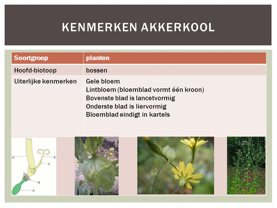 Kenmerken akkerkool Soortgroep planten Hoofd-biotoop bossen