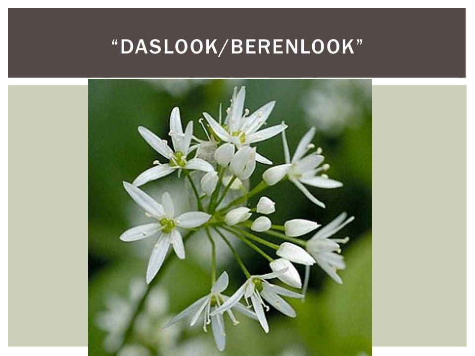 daslook/berenlook
