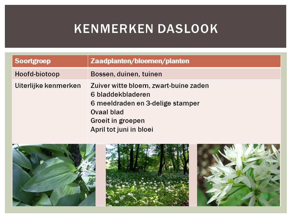 Kenmerken daslook Soortgroep Zaadplanten/bloemen/planten Hoofd-biotoop