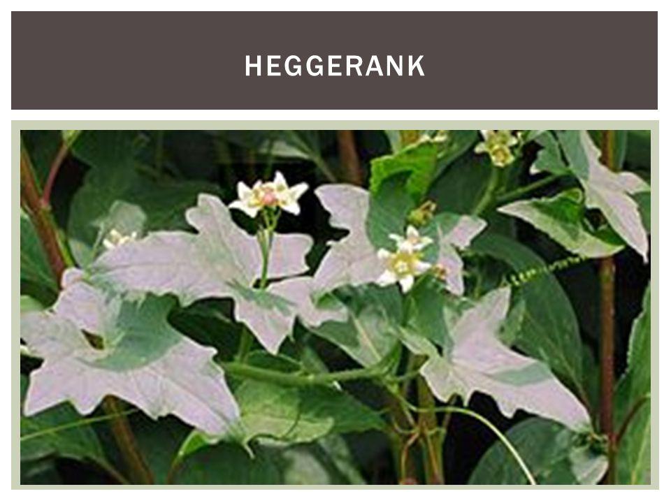 heggerank