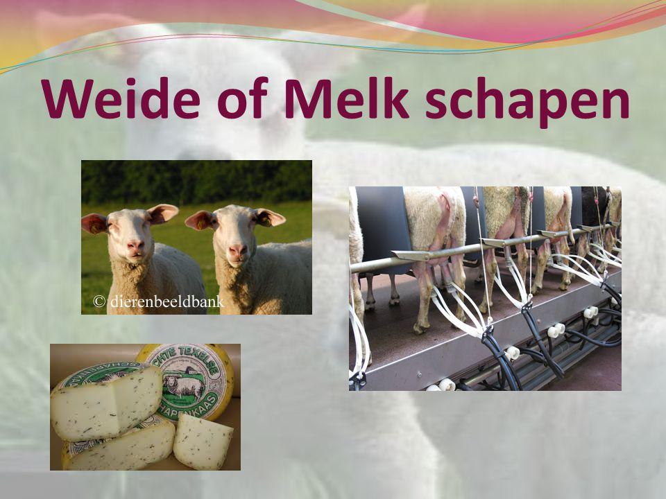 Weide of Melk schapen
