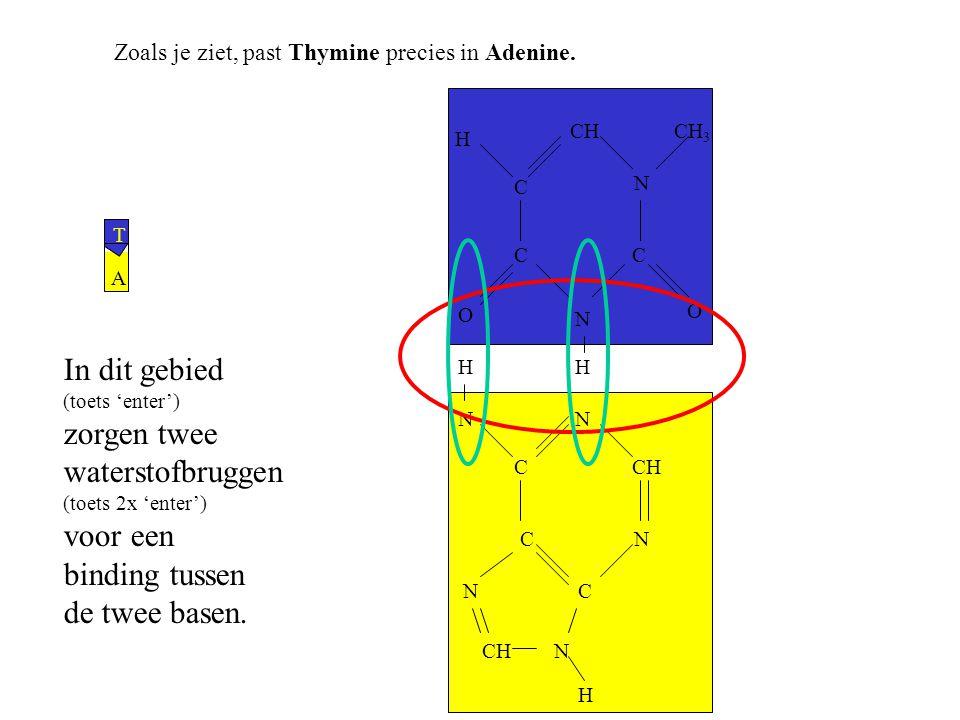 In dit gebied zorgen twee waterstofbruggen voor een binding tussen