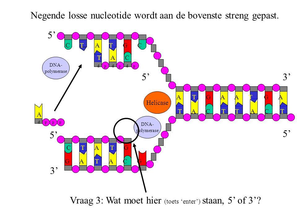 Negende losse nucleotide wordt aan de bovenste streng gepast.