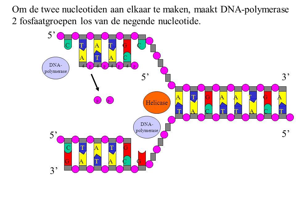 Om de twee nucleotiden aan elkaar te maken, maakt DNA-polymerase