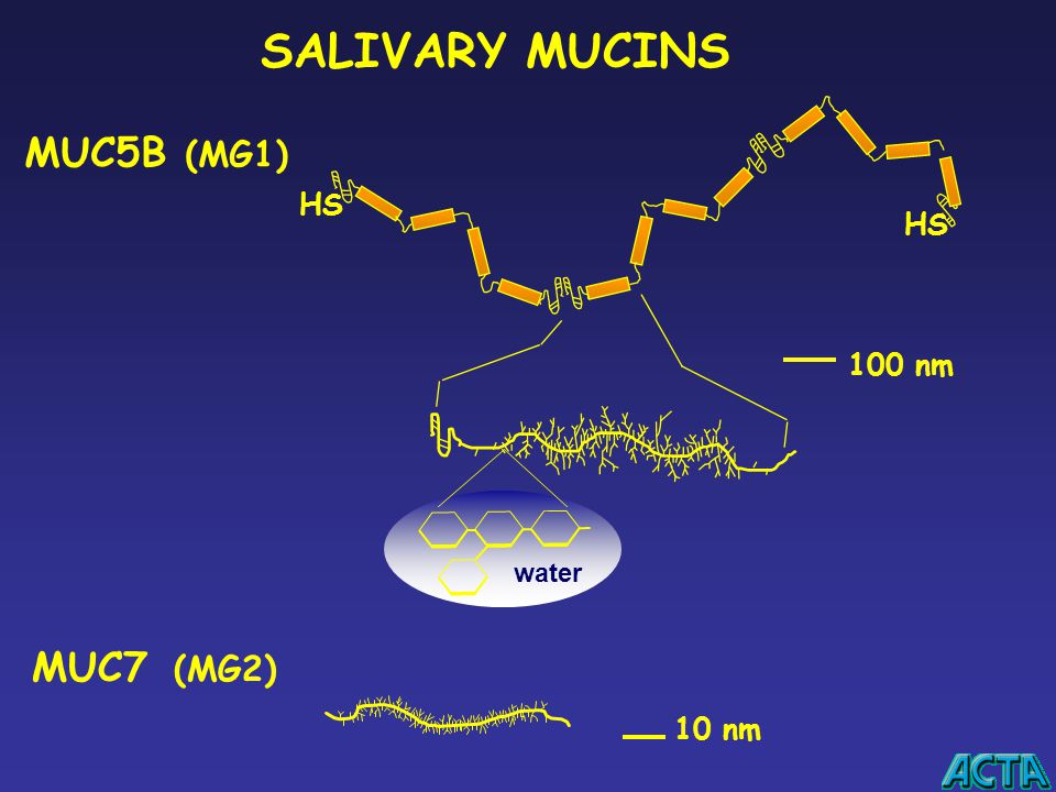 SALIVARY MUCINS MUC5B (MG1) HS HS 100 nm water MUC7 (MG2) 10 nm