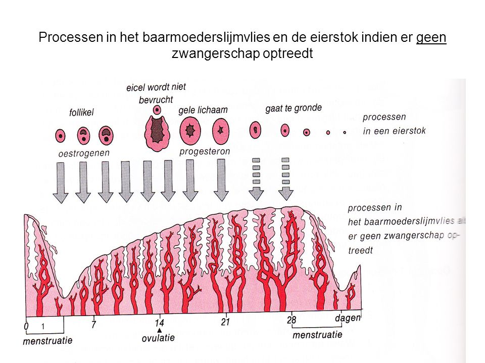 Processen in het baarmoederslijmvlies en de eierstok indien er geen zwangerschap optreedt