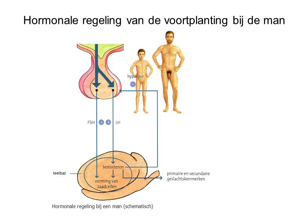 Hormonale regeling van de voortplanting bij de man