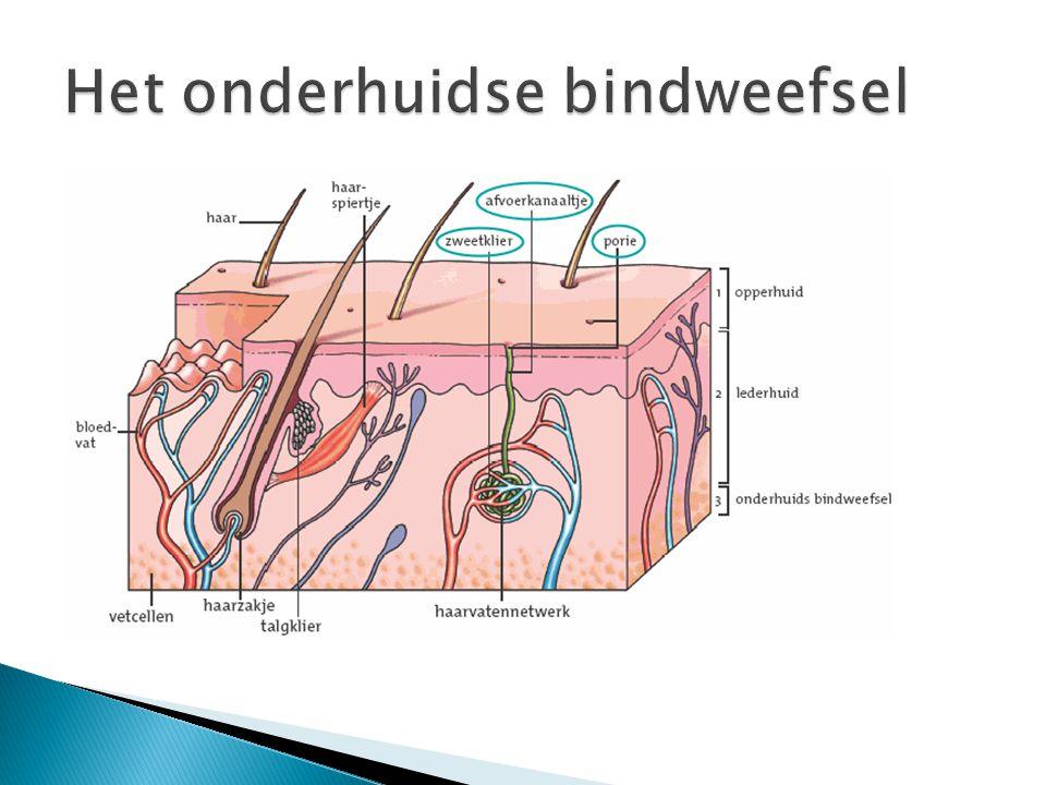 Het onderhuidse bindweefsel