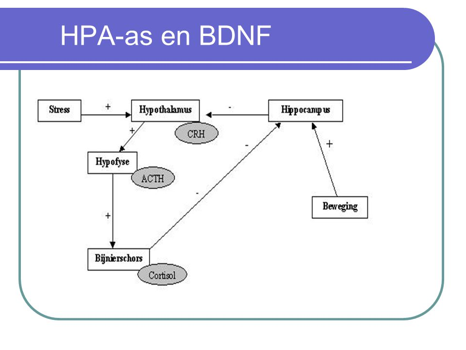HPA-as en BDNF