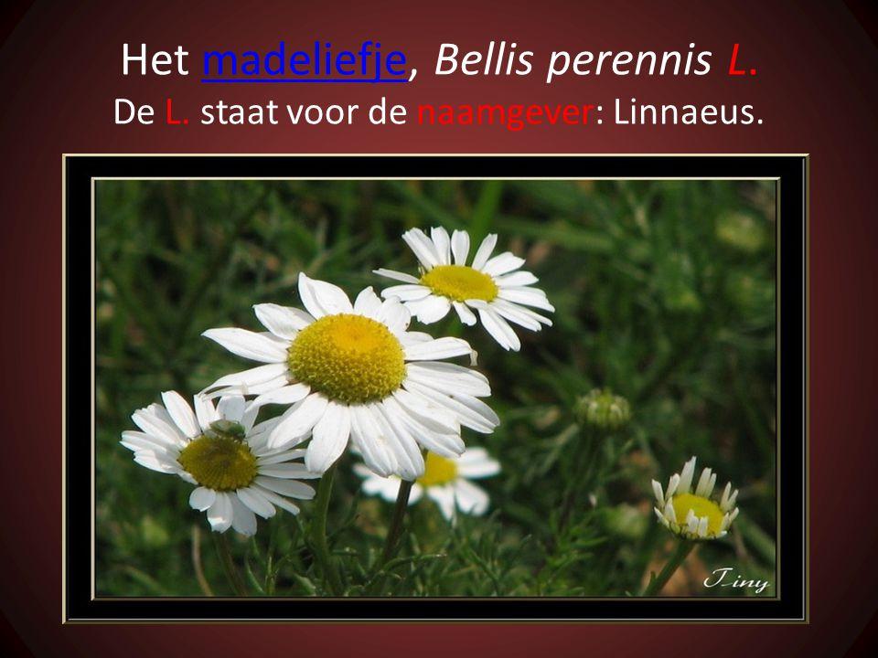 Het madeliefje, Bellis perennis L. De L