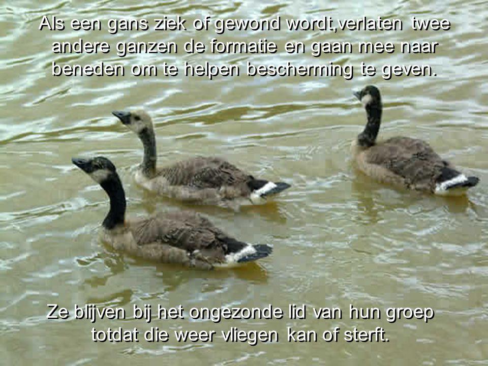 Als een gans ziek of gewond wordt,verlaten twee andere ganzen de formatie en gaan mee naar beneden om te helpen bescherming te geven.