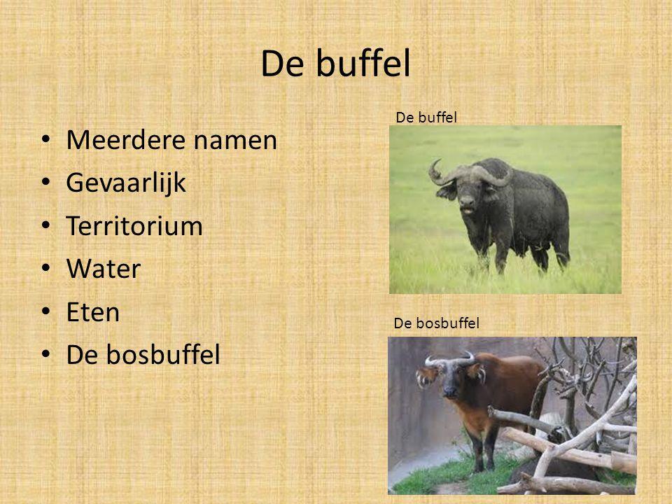 De buffel Meerdere namen Gevaarlijk Territorium Water Eten