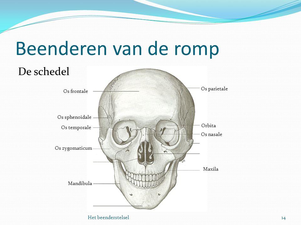 Beenderen van de romp De schedel Os parietale Os frontale