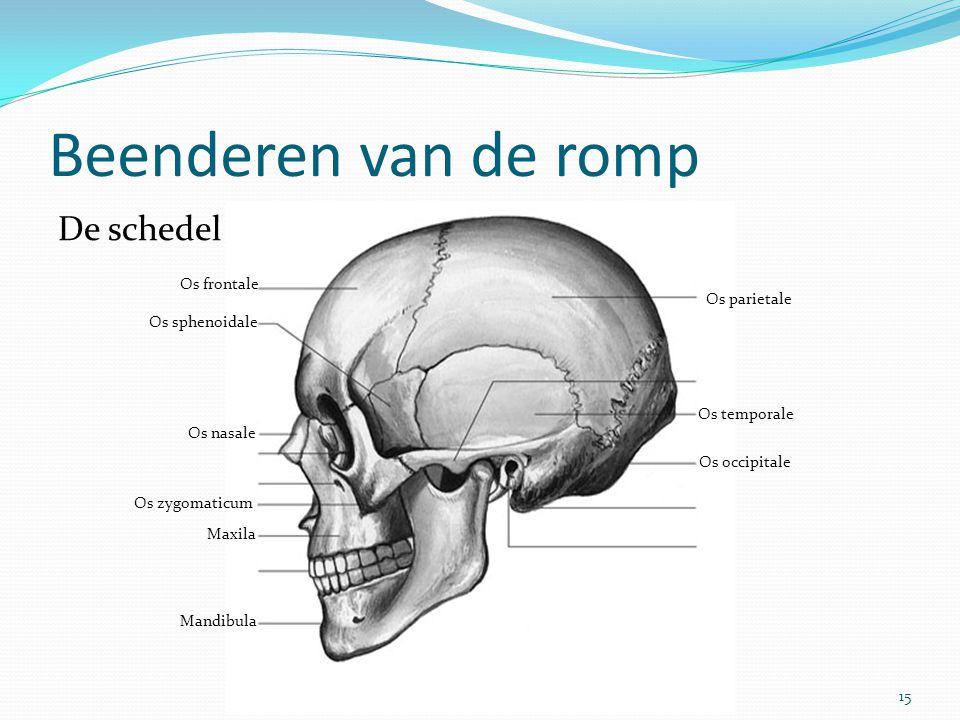 Beenderen van de romp De schedel Os frontale Os parietale
