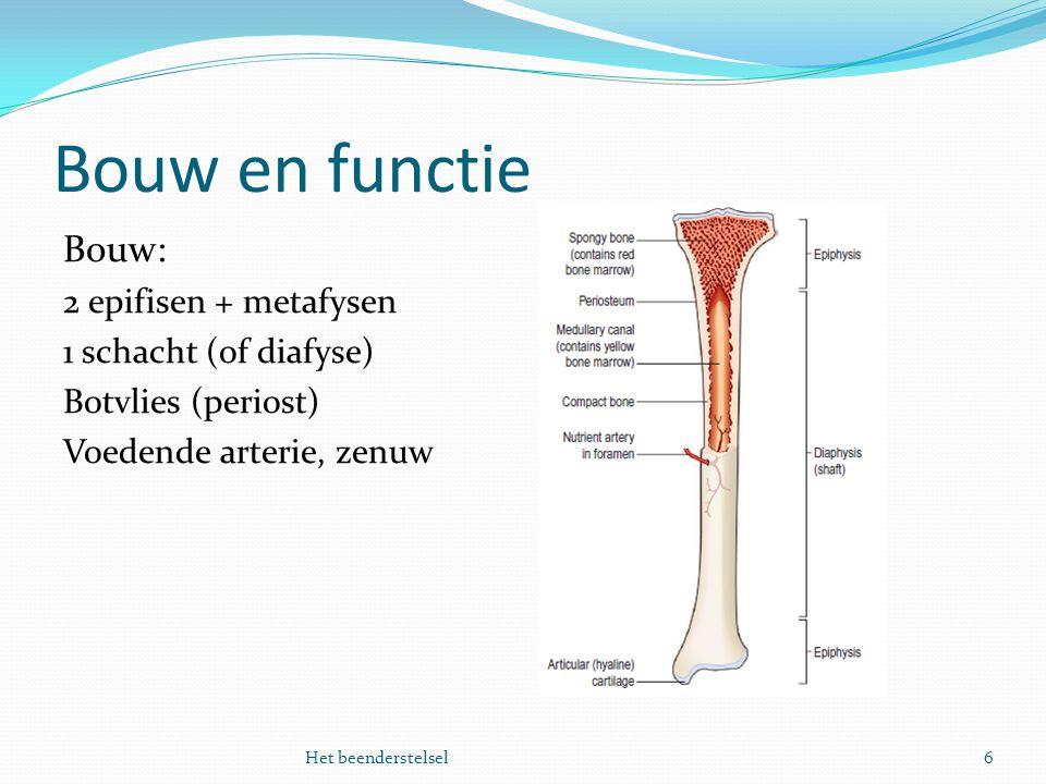Bouw en functie Bouw: 2 epifisen + metafysen 1 schacht (of diafyse)