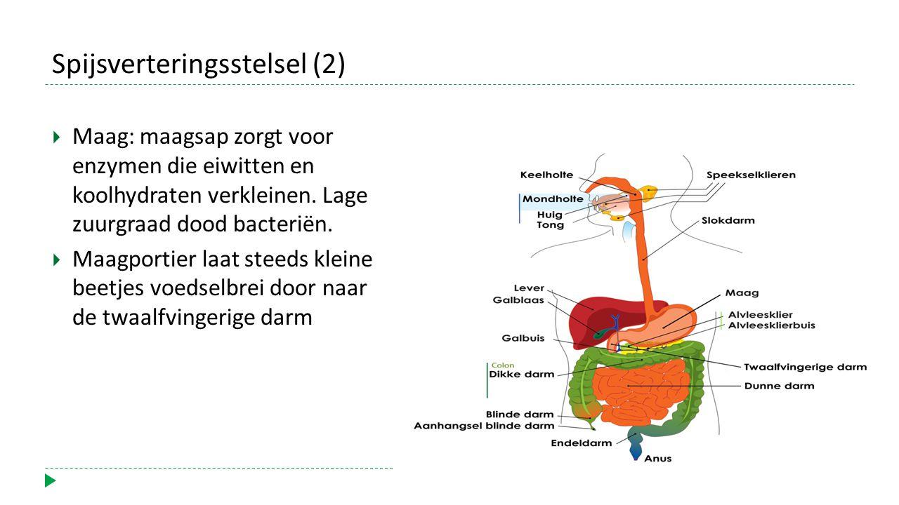 Spijsverteringsstelsel (2)