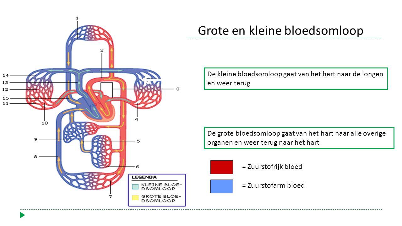 Grote en kleine bloedsomloop
