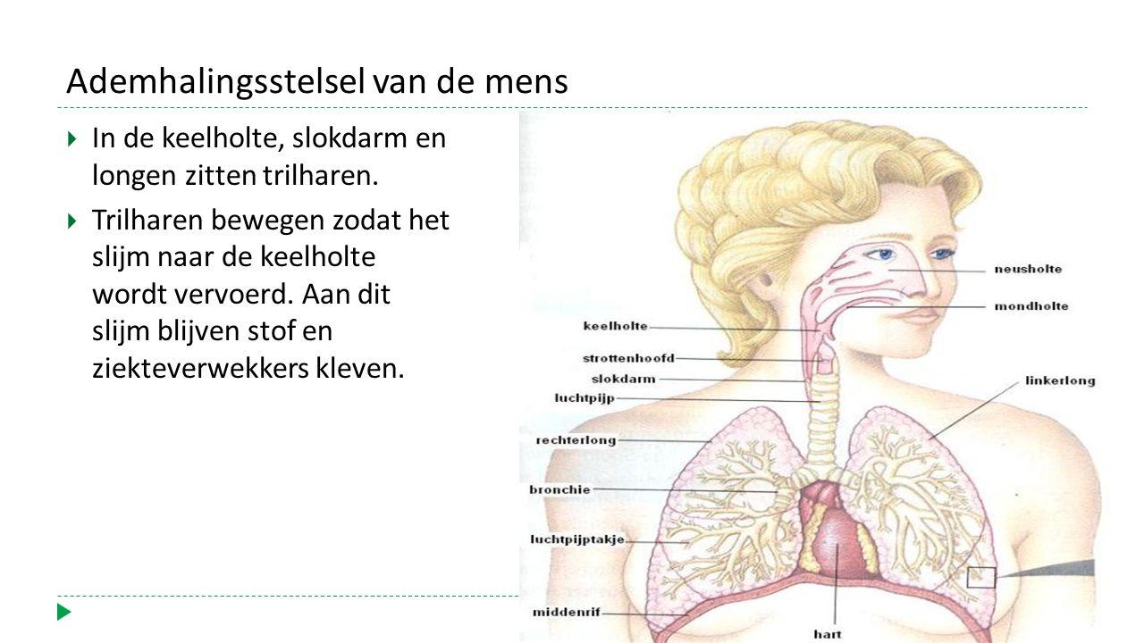 Ademhalingsstelsel van de mens