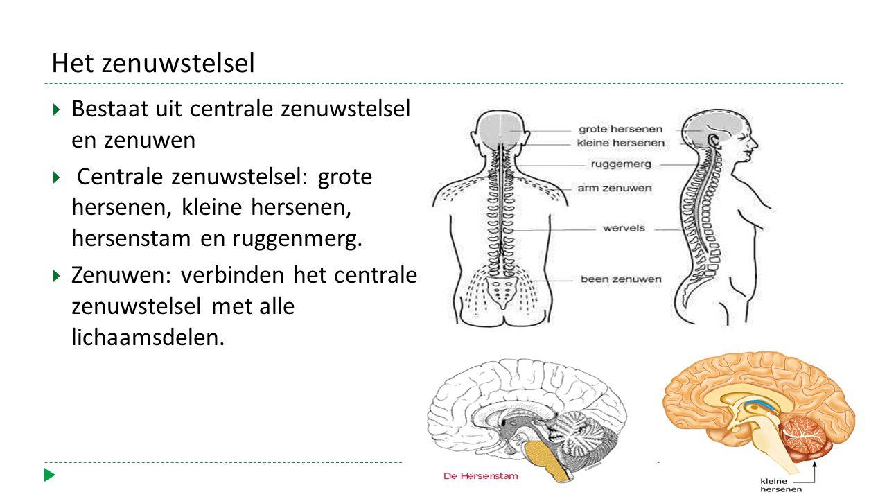 Het zenuwstelsel Bestaat uit centrale zenuwstelsel en zenuwen