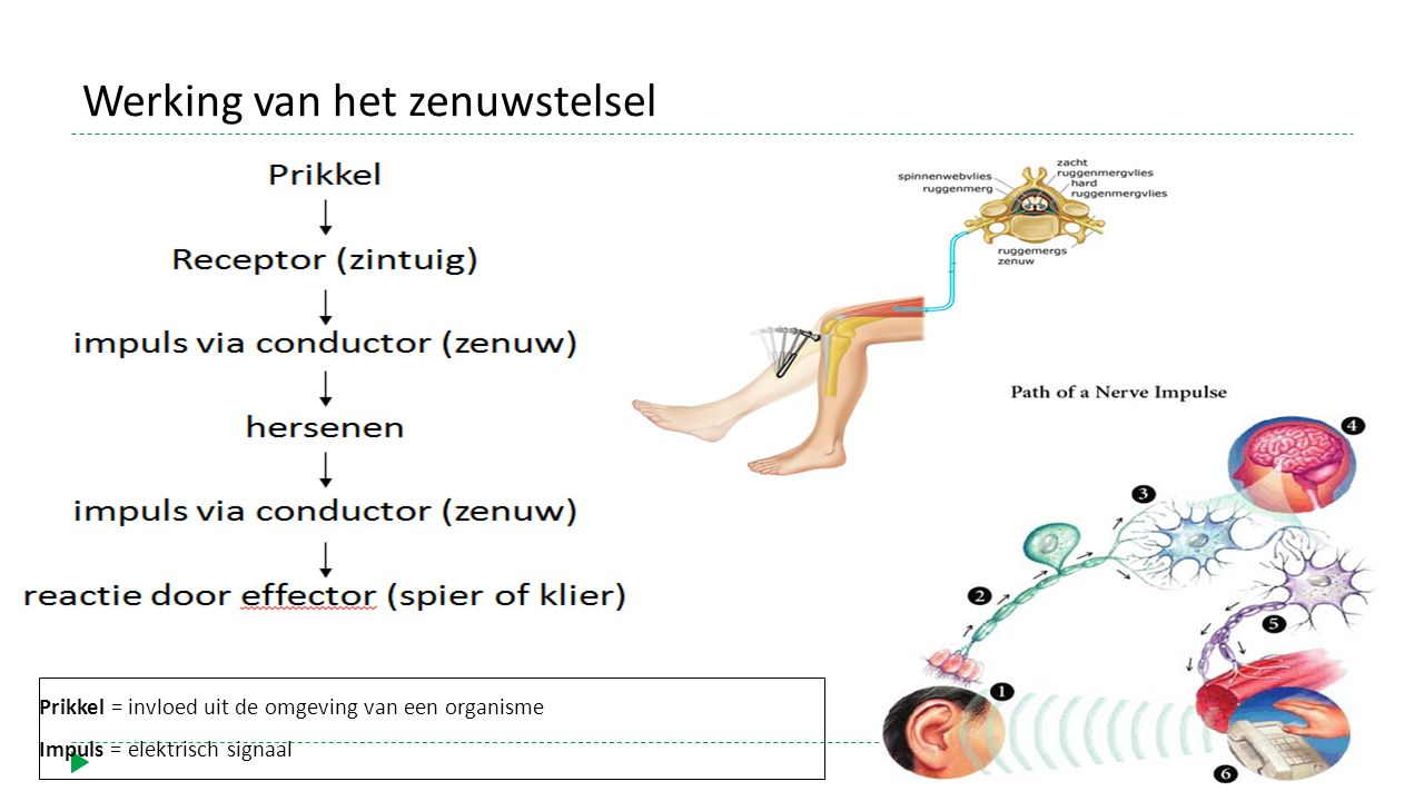 Werking van het zenuwstelsel