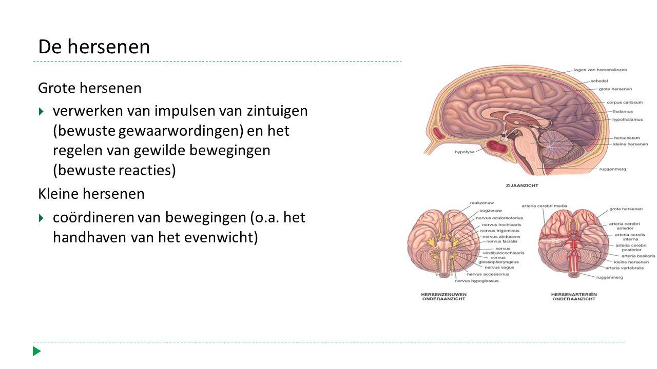 De hersenen Grote hersenen
