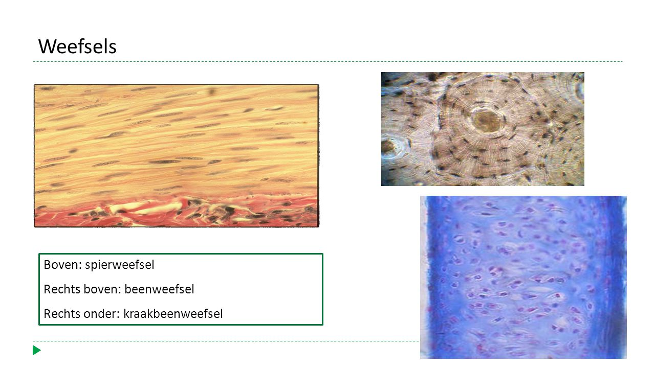 Weefsels Boven: spierweefsel Rechts boven: beenweefsel