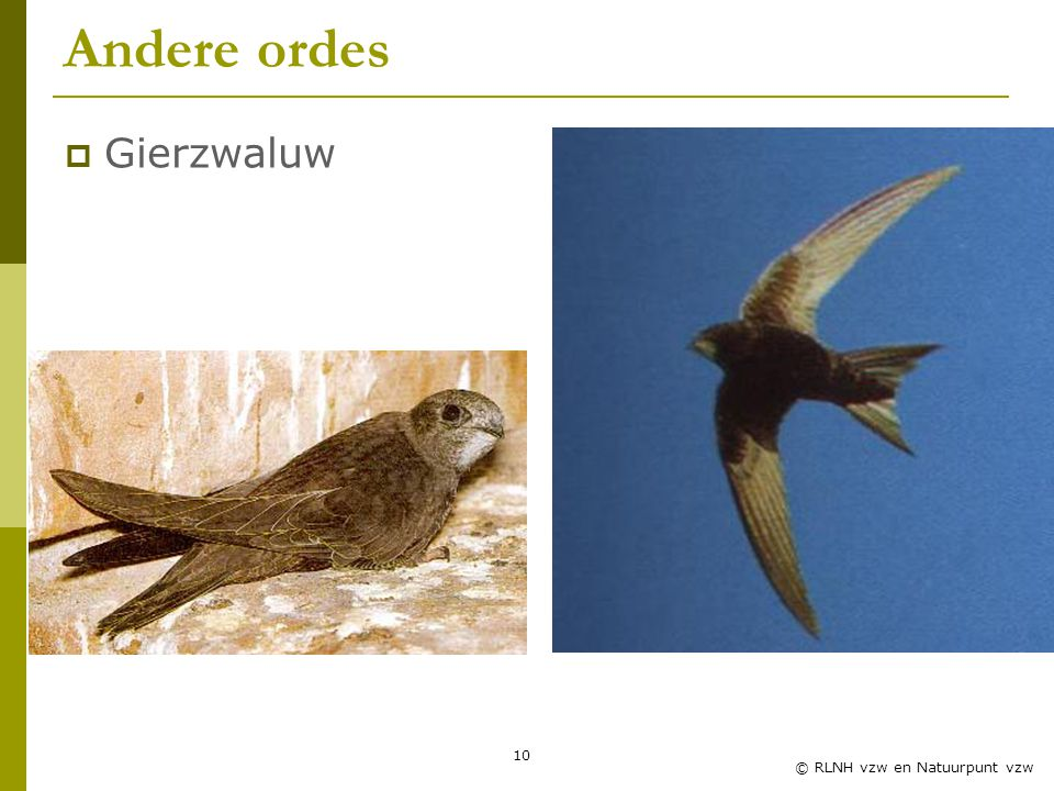 Andere ordes Gierzwaluw Zwaluwles RLNH vzw