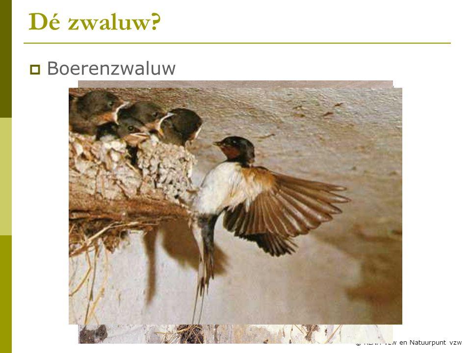 Dé zwaluw Boerenzwaluw Zwaluwles RLNH vzw