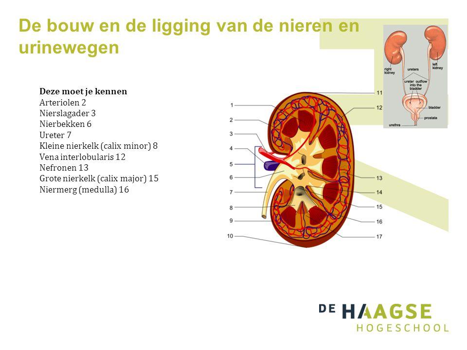 De bouw en de ligging van de nieren en urinewegen