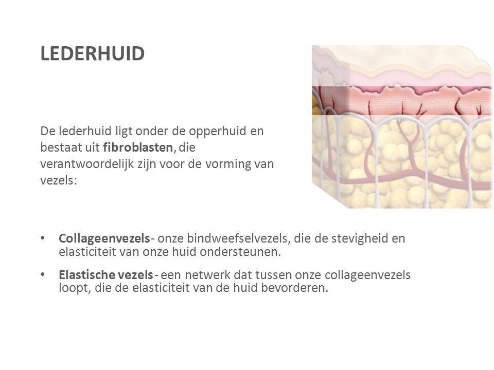 LEDERHUID De lederhuid ligt onder de opperhuid en bestaat uit fibroblasten, die verantwoordelijk zijn voor de vorming van vezels: