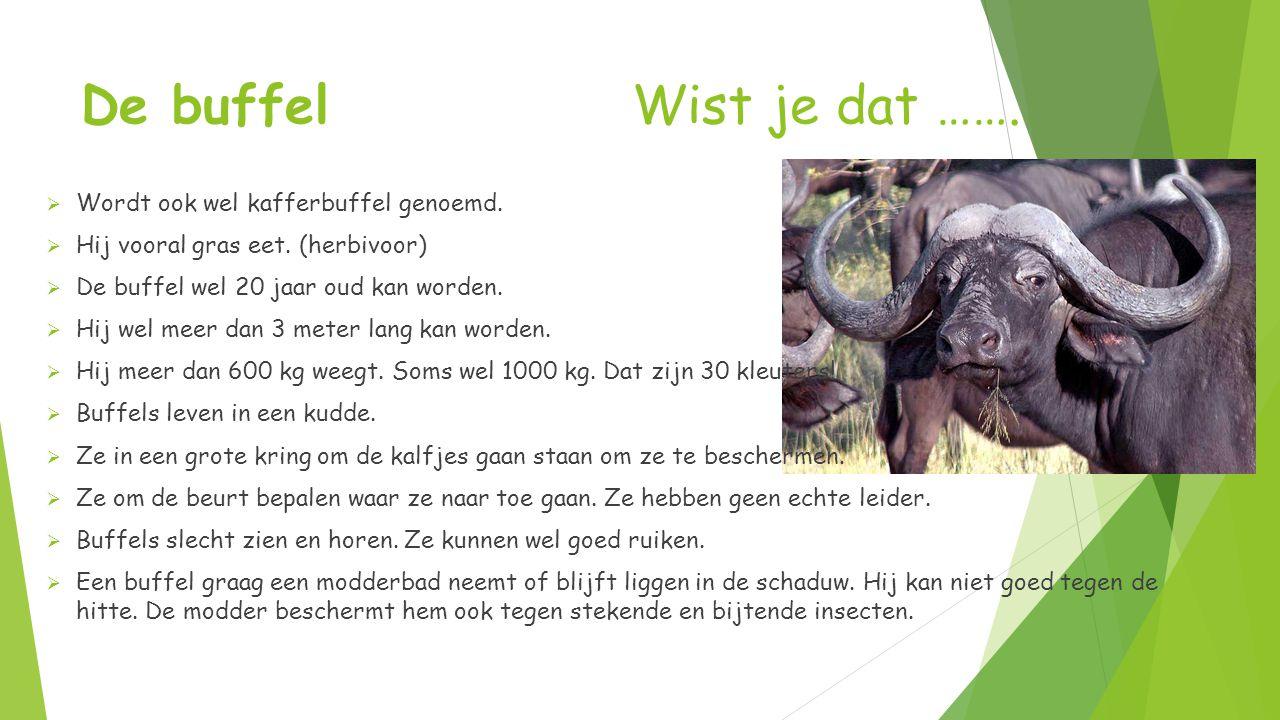 De buffel Wist je dat ……. Wordt ook wel kafferbuffel genoemd.