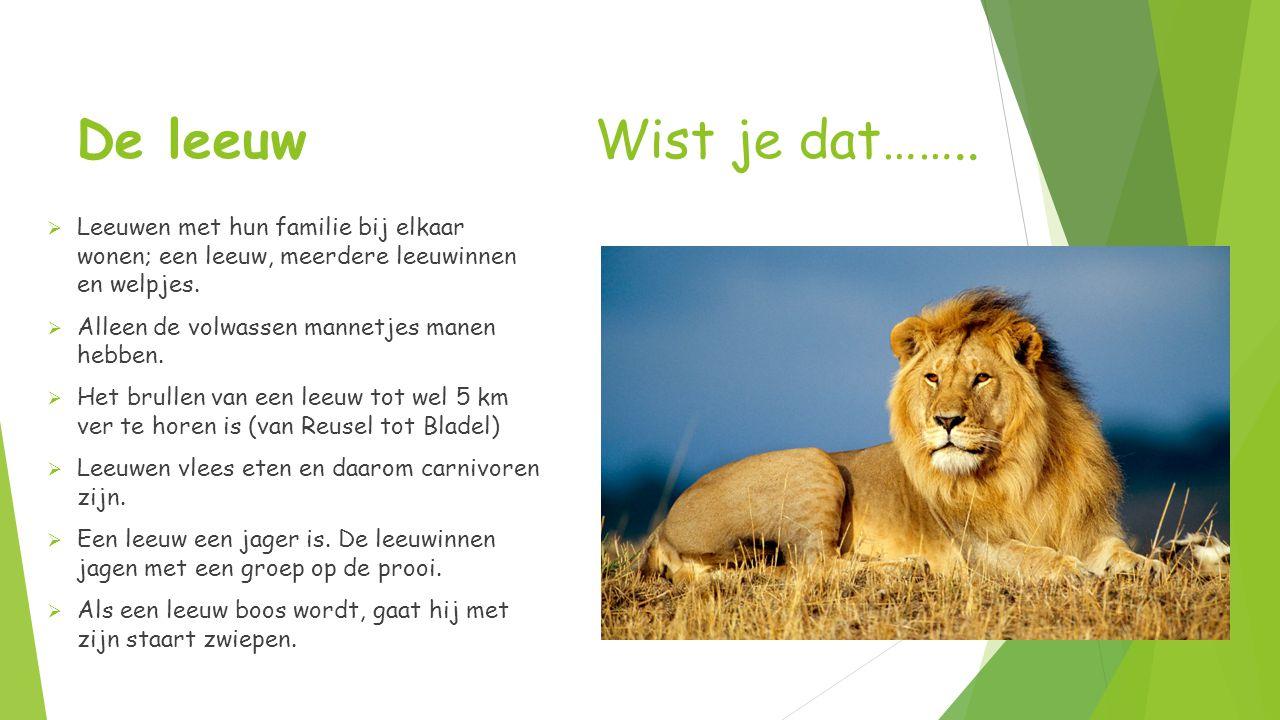 De leeuw Wist je dat…….. Leeuwen met hun familie bij elkaar wonen; een leeuw, meerdere leeuwinnen en welpjes.