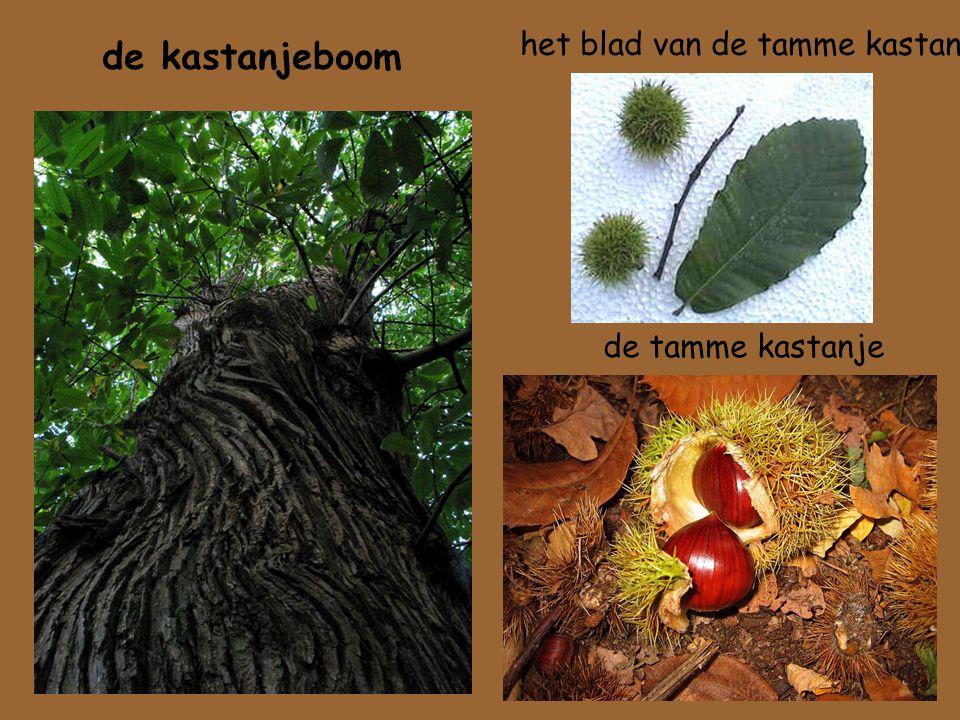 het blad van de tamme kastanje