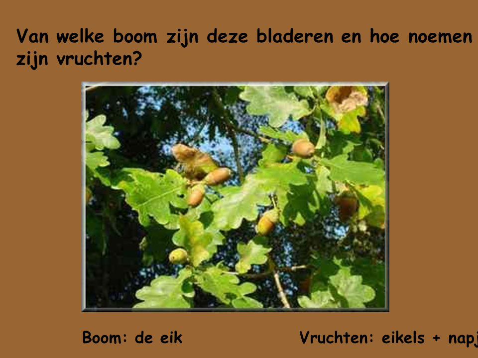 Van welke boom zijn deze bladeren en hoe noemen zijn vruchten