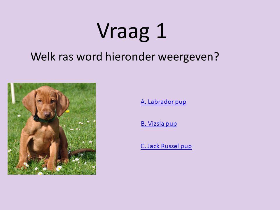 Vraag 1 Welk ras word hieronder weergeven A. Labrador pup