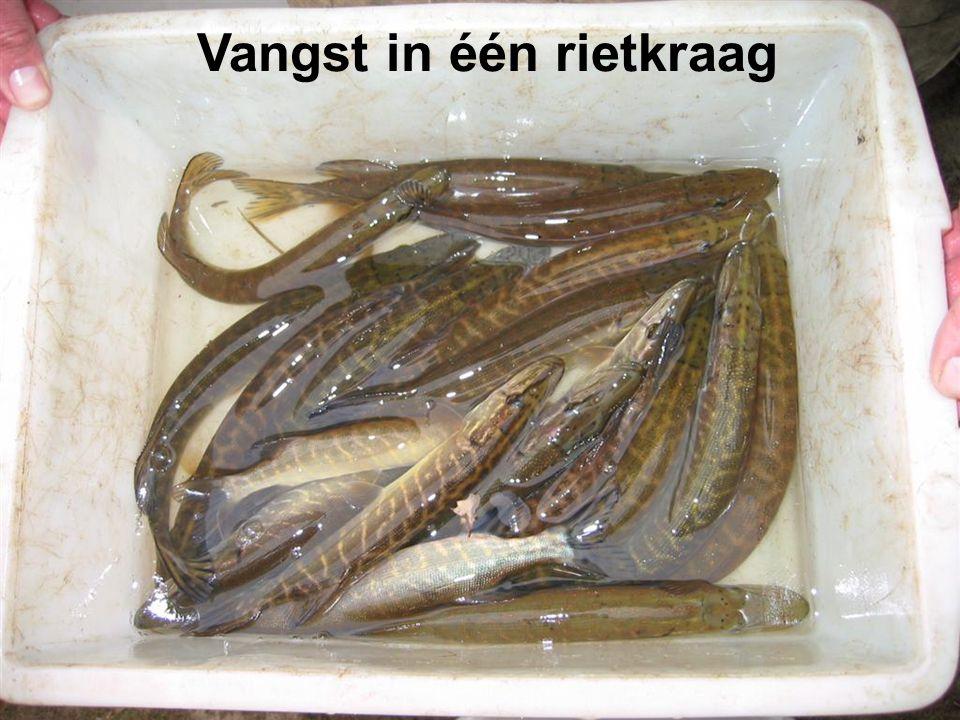Vangst in één rietkraag