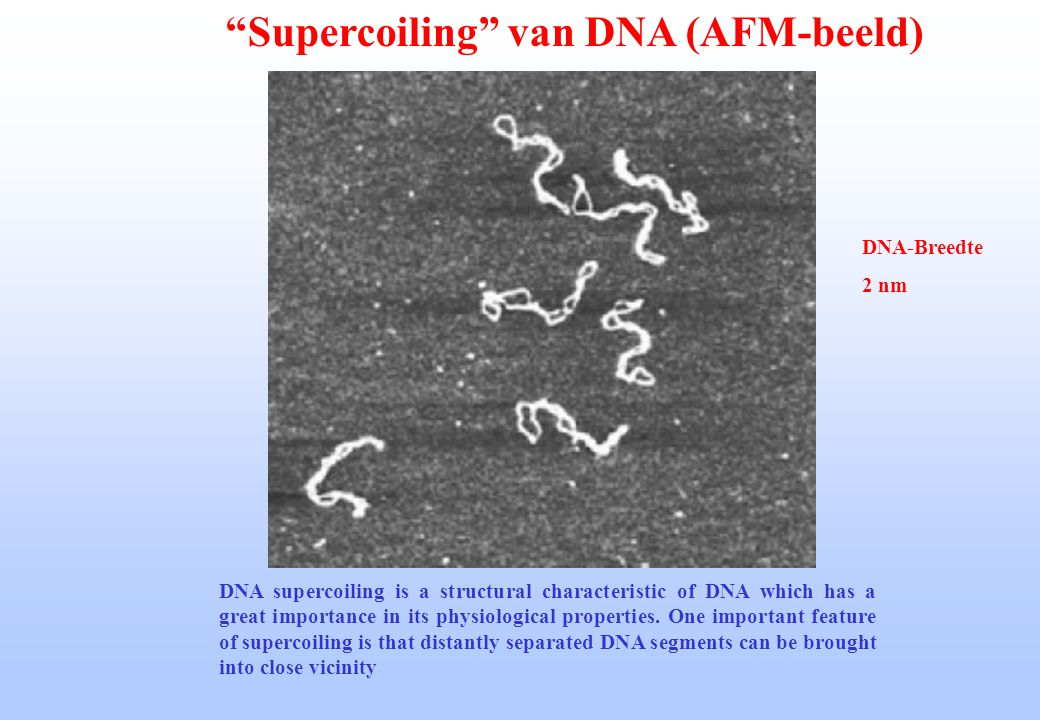 Supercoiling van DNA (AFM-beeld)
