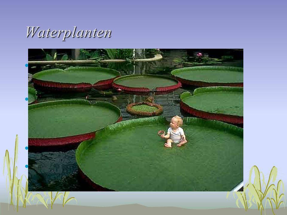 Waterplanten Huidmondjes aan bovenkant