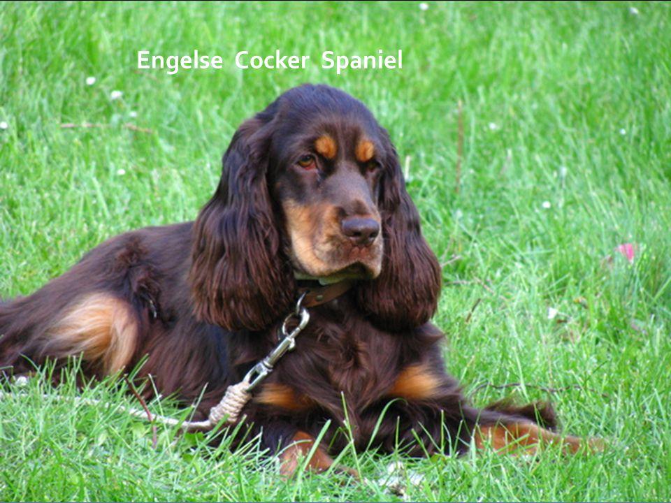 Engelse Cocker Spaniel