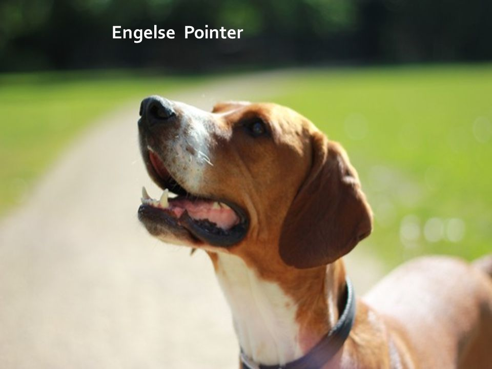 Engelse Pointer