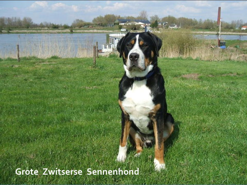 Grote Zwitserse Sennenhond