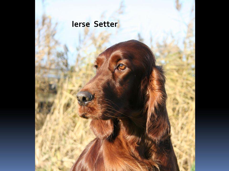 Ierse Setter