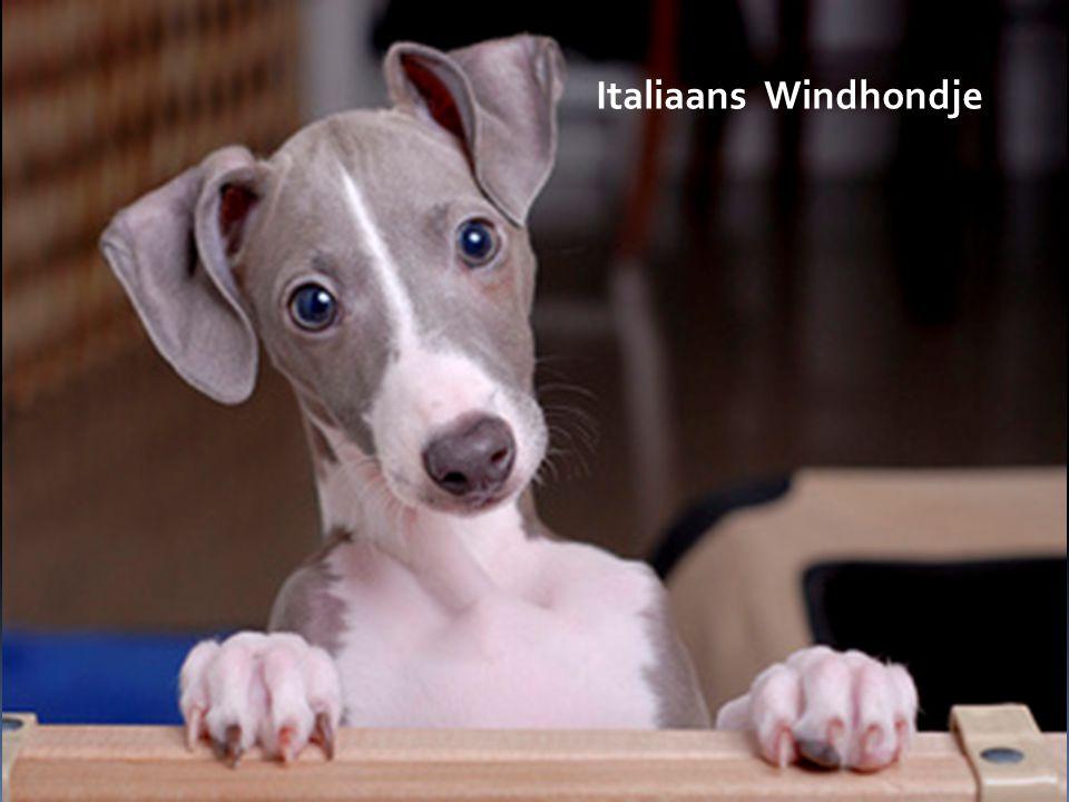 Italiaans Windhondje