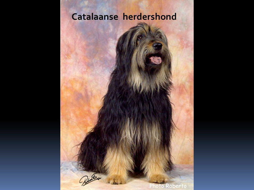 Catalaanse herdershond