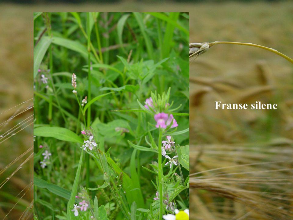 Franse silene