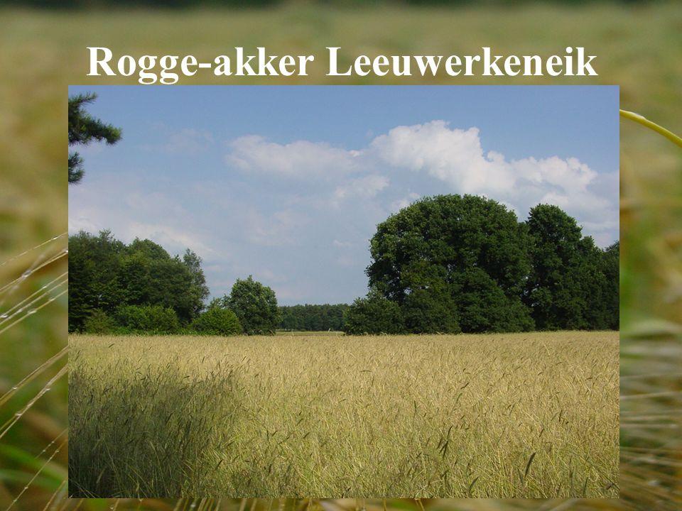 Rogge-akker Leeuwerkeneik