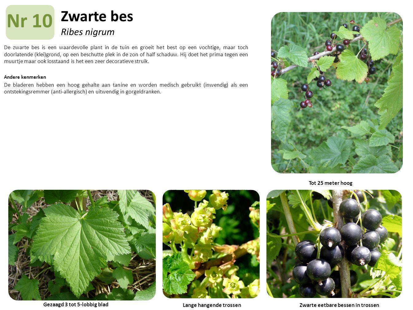 Zwarte bes Ribes nigrum